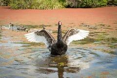 Ο μαύρος Κύκνος διαδίδει τα φτερά του, Νέα Ζηλανδία στοκ εικόνες με δικαίωμα ελεύθερης χρήσης