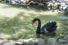 Ο μαύρος κύκνος επιπλέει στη λίμνη, ζωολογικός κήπος της askania-Nova εθνικής επιφύλαξης, Ουκρανία Στοκ Φωτογραφίες