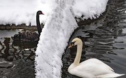 Ο μαύρος κύκνος και ο άσπρος κύκνος χώρισαν με έναν φράκτη στο πάρκο Kugulu το χειμώνα, Άγκυρα, Τουρκία στοκ εικόνες