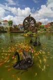 Ο μαύρος κύκνος κολυμπά με τα ψάρια koi στον κήπο με το watermill στοκ φωτογραφία