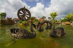 Ο μαύρος κύκνος κολυμπά με τα ψάρια koi στον κήπο με το watermill Στοκ φωτογραφία με δικαίωμα ελεύθερης χρήσης