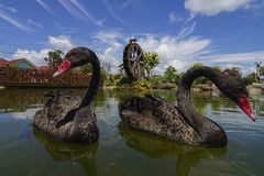 Ο μαύρος κύκνος κολυμπά το επιπλέον σώμα στο νερό ή τη λίμνη με τον ανεμόμυλο ως backgrou στοκ φωτογραφίες με δικαίωμα ελεύθερης χρήσης