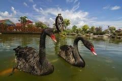 Ο μαύρος κύκνος κολυμπά το επιπλέον σώμα στο νερό ή τη λίμνη με τον ανεμόμυλο ως backgrou Στοκ Φωτογραφία