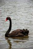 Ο μαύρος κύκνος κολυμπά στη λίμνη Στοκ Εικόνες