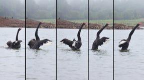 Ο μαύρος Κύκνος που κολυμπά στη λίμνη της δεξαμενής στην πόνο Ung Στοκ εικόνα με δικαίωμα ελεύθερης χρήσης
