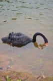 Ο μαύρος Κύκνος που κολυμπά στη λίμνη της δεξαμενής στην πόνο Ung Στοκ φωτογραφίες με δικαίωμα ελεύθερης χρήσης