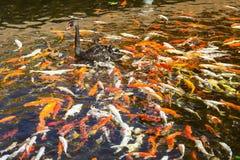 Ο μαύρος Κύκνος στη λίμνη με τα ιαπωνικά ψάρια koi, ταϊλανδικό χωριό, Lor Στοκ φωτογραφία με δικαίωμα ελεύθερης χρήσης