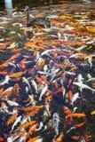 Ο μαύρος Κύκνος στη λίμνη με τα ιαπωνικά ψάρια koi, ταϊλανδικό χωριό, Lor Στοκ εικόνες με δικαίωμα ελεύθερης χρήσης