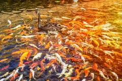 Ο μαύρος Κύκνος στη λίμνη με τα ιαπωνικά ψάρια koi, ταϊλανδικό χωριό, Lor Στοκ φωτογραφίες με δικαίωμα ελεύθερης χρήσης