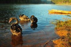 Ο μαύρος Κύκνος στη λίμνη Στοκ φωτογραφίες με δικαίωμα ελεύθερης χρήσης