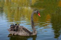 Ο μαύρος κύκνος στη λίμνη, εξετάζει την αντανάκλασή του στο νερό στοκ φωτογραφία με δικαίωμα ελεύθερης χρήσης