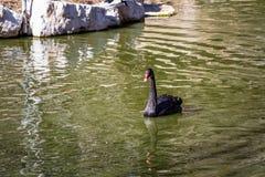 Ο μαύρος κύκνος στο βιβλικό ζωολογικό κήπο της Ιερουσαλήμ, Ισραήλ Στοκ Εικόνα