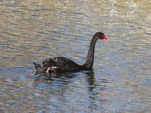 Ο μαύρος Κύκνος, atratus αστερισμού του Κύκνου, που κολυμπά στο πορτρέτο κινηματογραφήσεων σε πρώτο πλάνο λιμνών, εκλεκτική εστία Στοκ Φωτογραφίες