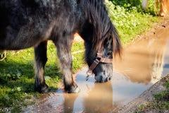 Ο Μαύρος λίγο πόσιμο νερό πόνι από μια λακκούβα στοκ φωτογραφία με δικαίωμα ελεύθερης χρήσης