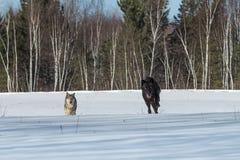 Ο μαύρος Λύκος Canis λύκων φάσης γκρίζος και ένα άλλο τρέξιμο διαβιβάζουν Thro Στοκ φωτογραφία με δικαίωμα ελεύθερης χρήσης
