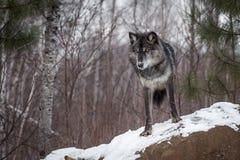 Ο μαύρος Λύκος Canis λύκων φάσης γκρίζος κοιτάζει κάτω από επάνω στο βράχο Στοκ Εικόνα