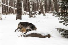 Ο μαύρος Λύκος Canis λύκων φάσης γκρίζος ωθεί άλλο λύκο στο ασβέστιο ελαφιών Στοκ Εικόνες