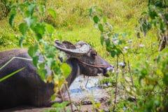 Ο μαύρος μεγάλος βούβαλος νερού χαλαρώνει στο έλος στο δάσος Στοκ Εικόνες