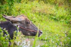 Ο μαύρος μεγάλος βούβαλος νερού χαλαρώνει στο έλος στο δάσος Στοκ φωτογραφία με δικαίωμα ελεύθερης χρήσης