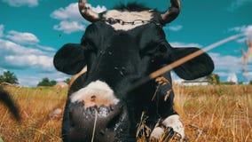 Ο Μαύρος με την άσπρη αγελάδα που βρίσκεται στο λιβάδι και μασά τη χλόη κίνηση αργή απόθεμα βίντεο