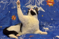 Ο Μαύρος με την άσπρη με κοντά μαλλιά γάτα με τα πορτοκαλιά μάτια βρίσκεται Στοκ εικόνα με δικαίωμα ελεύθερης χρήσης