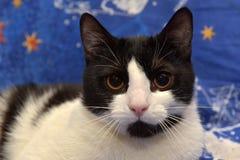Ο Μαύρος με την άσπρη με κοντά μαλλιά γάτα με τα πορτοκαλιά μάτια βρίσκεται Στοκ Φωτογραφία