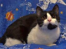 Ο Μαύρος με την άσπρη με κοντά μαλλιά γάτα με τα πορτοκαλιά μάτια βρίσκεται Στοκ εικόνες με δικαίωμα ελεύθερης χρήσης