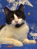 Ο Μαύρος με την άσπρη με κοντά μαλλιά γάτα με τα πορτοκαλιά μάτια βρίσκεται Στοκ φωτογραφίες με δικαίωμα ελεύθερης χρήσης