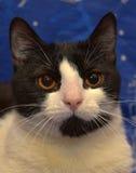Ο Μαύρος με την άσπρη με κοντά μαλλιά γάτα με τα πορτοκαλιά μάτια βρίσκεται Στοκ Φωτογραφίες