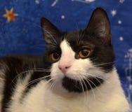 Ο Μαύρος με την άσπρη με κοντά μαλλιά γάτα με τα πορτοκαλιά μάτια βρίσκεται Στοκ φωτογραφία με δικαίωμα ελεύθερης χρήσης
