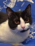 Ο Μαύρος με την άσπρη με κοντά μαλλιά γάτα με τα πορτοκαλιά μάτια βρίσκεται Στοκ Εικόνες