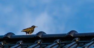 Ο Μαύρος με την κίτρινη συνεδρίαση ψαρονιών σε μια στέγη, κοινά είδη πο στοκ φωτογραφίες με δικαίωμα ελεύθερης χρήσης