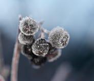ο Μαύρος μούρων Στοκ Φωτογραφία