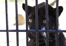 Ο μαύρος πάνθηρας κοιτάζει μελαγχολικά από το κλουβί. Στοκ φωτογραφία με δικαίωμα ελεύθερης χρήσης