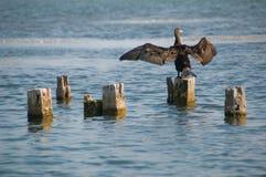 ο Μαύρος πουλιών Στοκ εικόνα με δικαίωμα ελεύθερης χρήσης