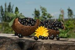 Ο Μαύρος σε ένα κοχύλι καρύδων μιας νέας συγκομιδής στέκεται σε μια κάνναβη στον κήπο Στοκ Εικόνα