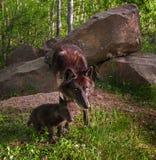Ο μαύρος λύκος (Λύκος Canis) και το κουτάβι έντονο κοιτάζουν Στοκ εικόνα με δικαίωμα ελεύθερης χρήσης