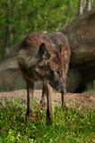 Ο μαύρος λύκος (Λύκος Canis) κοιτάζει δεξιά Στοκ Εικόνες