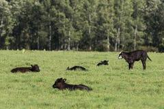 Ο μαύρος Angus Calves Στοκ εικόνες με δικαίωμα ελεύθερης χρήσης