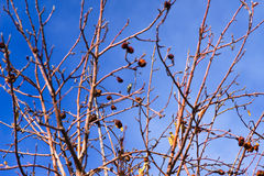 ο Μαύρος archilochus alexandri το κολίβρι&omic Στοκ φωτογραφία με δικαίωμα ελεύθερης χρήσης
