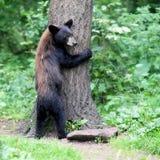 Ο Μαύρος Hugger δέντρων αντέχει Στοκ φωτογραφία με δικαίωμα ελεύθερης χρήσης