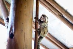 Ο Μαύρος marmoset, ένας κοινός μικρός πίθηκος, που αναρριχείται στον ξύλινο πόλο μέσα στο σπίτι Ρίο ντε Τζανέιρο, Βραζιλία Στοκ Εικόνα