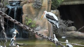 Ο μεγάλος άσπρος ερωδιός στέκεται στον κλάδο, τα άγρια πουλιά, τη χλωρίδα και την πανίδα, μεγάλα εξωτικά πουλιά φιλμ μικρού μήκους