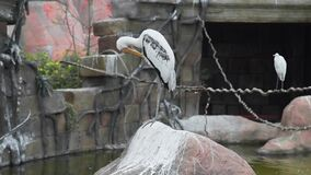 Ο μεγάλος άσπρος ερωδιός στέκεται στο βράχο και καθαρίζει τα φτερά, τα άγρια πουλιά, τη χλωρίδα και την πανίδα, μεγάλα εξωτικά πο φιλμ μικρού μήκους