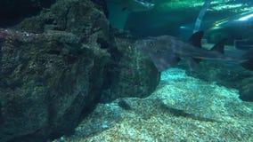 Ο μεγάλος επισημασμένος καρχαρίας κολυμπά χαμηλά πέρα από το βυθό υποβρύχιο Λεοπάρδαλη ή ζέβρα στενός επάνω καρχαριών απόθεμα βίντεο