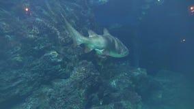 Ο μεγάλος καρχαρίας κολυμπά μετά από τον υποβρύχιο βράχο στο σκοτάδι απόθεμα βίντεο