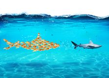 Ο μεγάλος καρχαρίας φιαγμένος από goldfishes επιτίθεται σε έναν πραγματικό καρχαρία Η έννοια της ενότητας είναι δύναμη, ομαδική ε στοκ φωτογραφίες