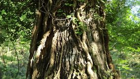 Ο μεγάλος κορμός του δρύινου δέντρου απόθεμα βίντεο