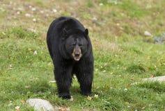 Ο μεγάλος Μαύρος αντέχει το αμερικανικό περπάτημα Ursus μέσω του λιβαδιού το καλοκαίρι στον Καναδά στοκ φωτογραφία με δικαίωμα ελεύθερης χρήσης