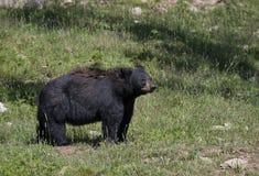 Ο μεγάλος Μαύρος αντέχει το αμερικανικό περπάτημα Ursus μέσω του λιβαδιού το καλοκαίρι στον Καναδά στοκ εικόνα